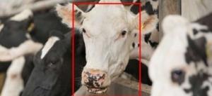 Начато использование ПО для распознавания коров